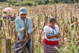 Farmers picking corn in Mexico